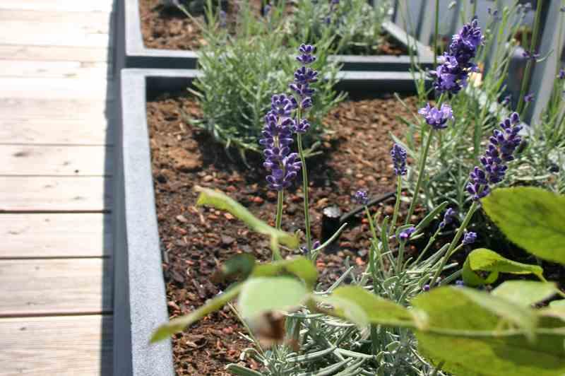 Lavendel-Pflanze im Beet