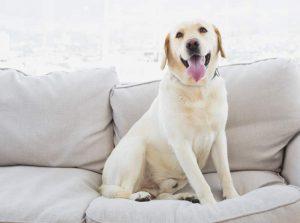 Haustier Mietrecht: Hund in Wohnung auf Couch