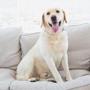 Haustier Hund sitzt in Wohnung auf Couch